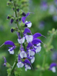 Salvia pratensis Madeline - Sauge des près