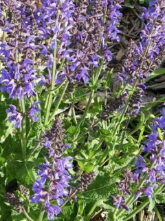 Salvia pratensis Rhapsody in Blue - Sauge des près