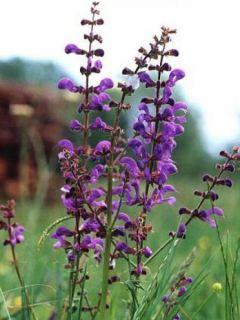 Salvia pratensis - Sauge des près.
