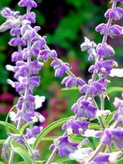 Salvia leucantha - Sauge arbustive
