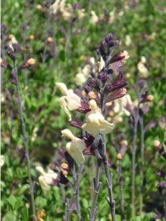 Sauge, Salvia jamensis Melen