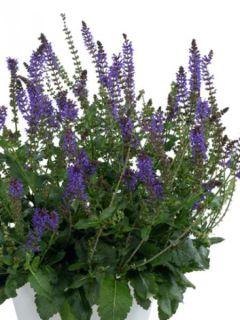 Salvia nemorosa April Night - Sauge des bois