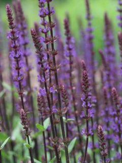 Sauge - Salvia nemorosa Caradonna