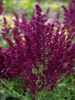 Sauge - Salvia nemorosa Schwellenburg