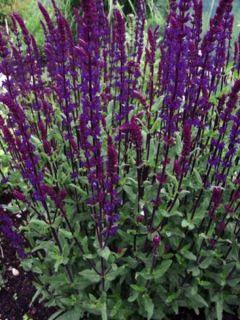 Salvia nemorosa Serenade - Sauge des bois