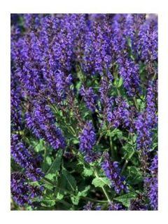 Salvia nemorosa Viola Klose - Sauge des bois