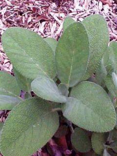 Sauge officinale - Salvia officinalis Berggarten