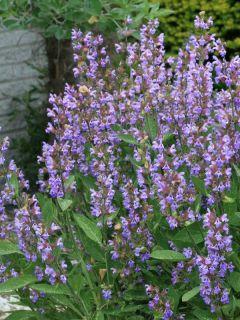 Sauge officinale - Salvia officinalis
