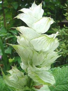 Sauge sclarée - Salvia sclarea Vatican White