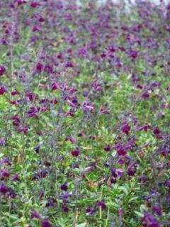 Sauge arbustive - Salvia jamensis Violette de Loire