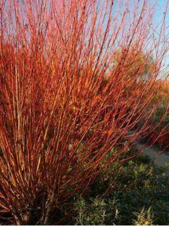 Salix alba Chermesina - Saule blanc - Osier rouge