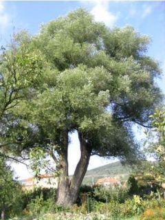 Salix alba - Saule blanc, argenté