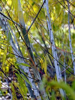 Saule - Salix acutifolia Blue Streak