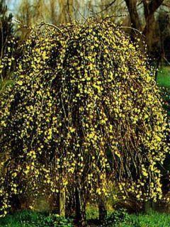 Salix caprea Kilmarnock - Saule marsault pleureur.