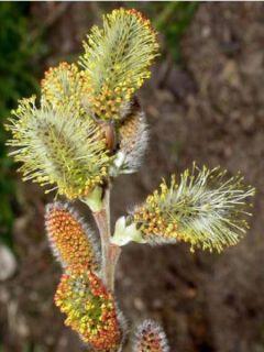 Salix caprea - Saule marsault