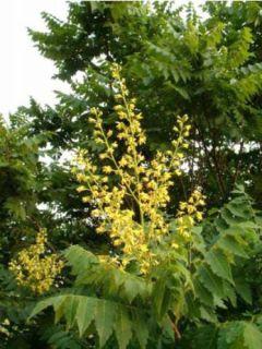 Koelreuteria paniculata - Savonnier de Chine