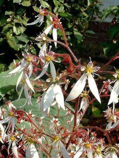 Saxifrage - Saxifraga stolonifera Cuscutiformis