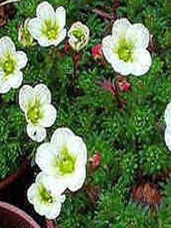Saxifrage Pixie White - Gazon Turc