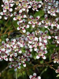 Saxifrage cotyledon south side seedling, Saxifraga