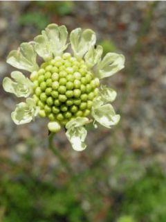 Scabieuse jaune - Scabiosa ochroleuca