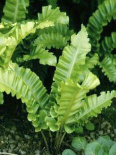 Asplenium scolopendrium Undulatum Angustatum - Fougère scolopendre
