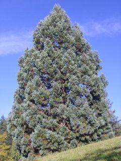 Sequoiadendron giganteum Glaucum - Séquoia géant