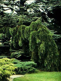 Sequoiadendron giganteum Pendulum - Séquoia géant pleureur