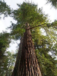 Sequoia sempervirens - Séquoia à feuilles d'If pot de 4L