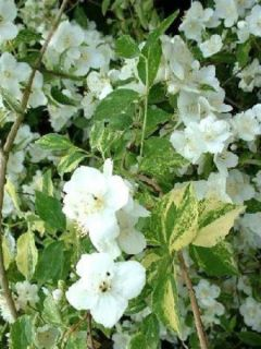Seringat des jardins - Philadelphus Innocence