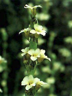 Sisyrinchium striatum - Bermudienne striée