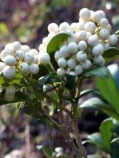 Skimmia japonica Kew White