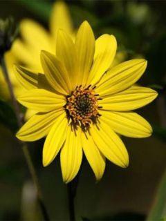 Tournesol à fleur géante jaune - Helianthus annuus Uniflorus Giganteus