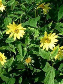 Helianthus hybride Lemon Queen - Soleil Vivace
