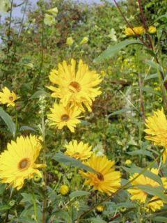 Helianthus atrorubens Monarch - Soleil vivace
