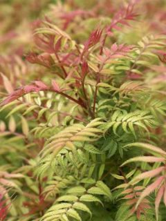 Sorbaria sorbifolia Sem - Fausse Spirée à feuilles de sorbier