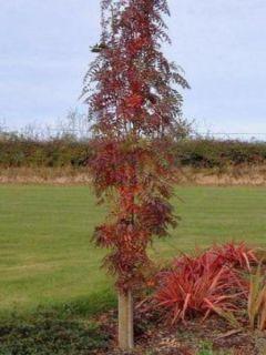 Sorbus aucuparia Autumn Spire - Sorbier des oiseleurs