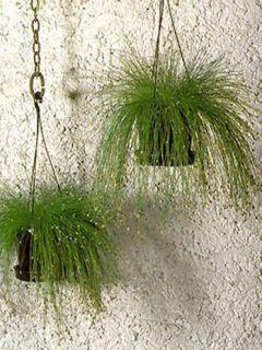 Liatride en épi Liatris Violet - Liatris spicata