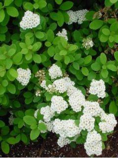 Spirée à feuilles de bouleau Tor - Spiraea betulifolia