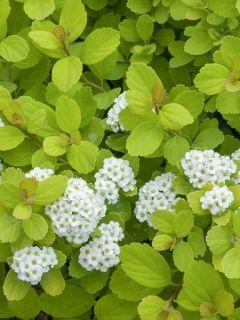 Spirée à feuilles de bouleau 'Tor Gold'