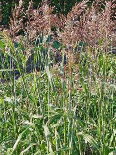 Spodiopogon sibiricus West Lake - Graminée d'ornement