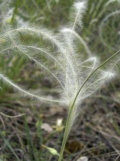 Stipa pulcherrima - Stipe admirable