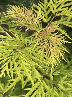 Sureau Lemony Lace - Sambucus racemosa
