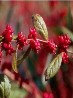 Symphorycarpos d. Magic Berry - Symphorine