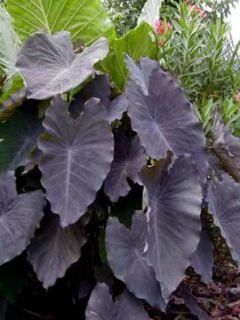 Colocasia Black magic - Oreille d'Eléphant