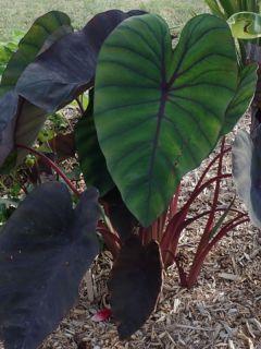 Colocasia Madeira - Oreille d'Eléphant