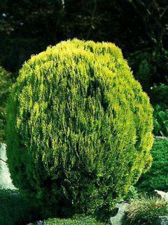 Platycladus orientalis Aurea Nana - Thuya d'Orient
