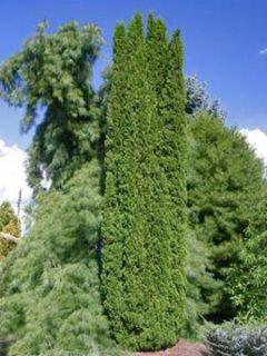 Thuya du Canada 'Degroot's Spire'