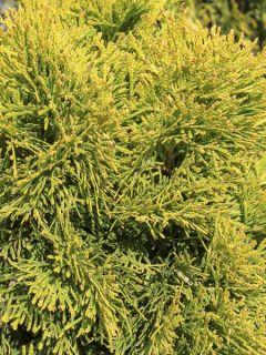 Thuya du Canada 'Golden Smaragd'