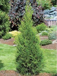 Thuya du Canada - Thuja occidentalis Smaragd