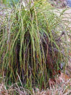 Thuja plicata Whipcord - Thuya - Cèdre de l'Ouest